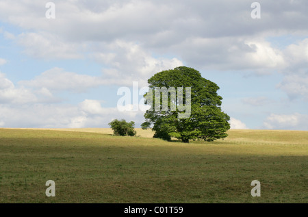 Large Tree in a Field, Chess Valley, Hertfordshire